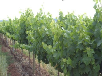 Yenda Vineyards, Griffith NSW, Griffith, NSW 2680