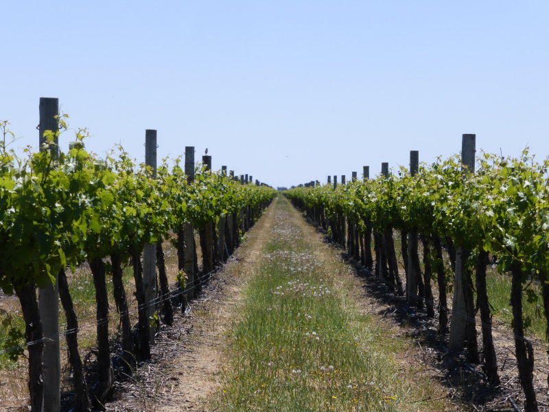 Yates Vineyard, V & A Lane, Coonawarra, SA 5263