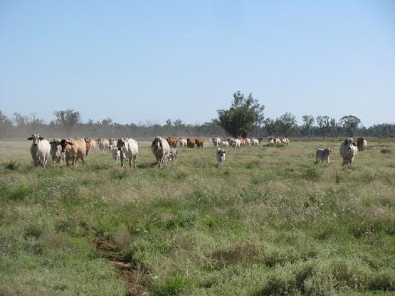 . Macquarie River Cattle Country, Warren, NSW 2824